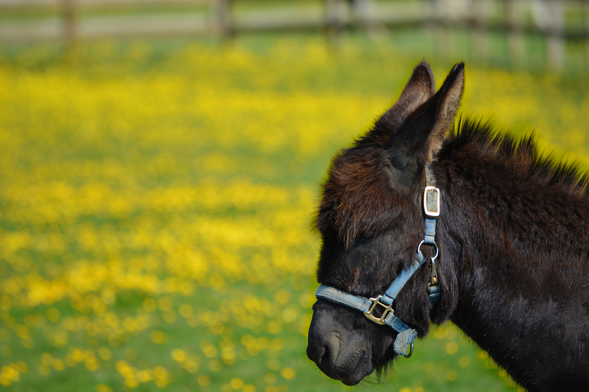 Cheeky Donkey in a Buttercup Meadow